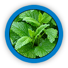 Lemon Balm (Leaf)